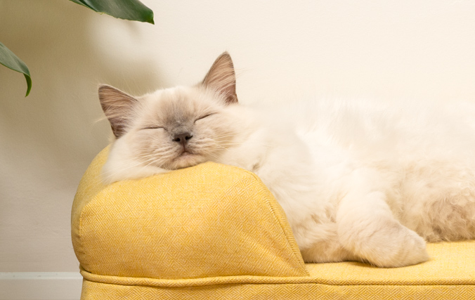Cat resting peacefully in the bolster bed with supportive bolster cushion
