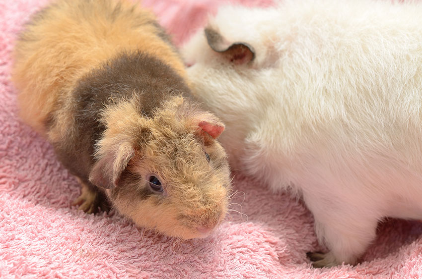 Old and young guinea pig