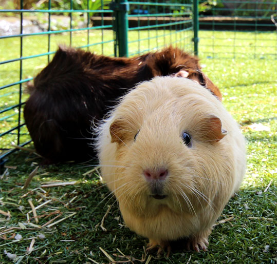 Your pet guinea pig will be happy and safe in its Outdoor Guinea Pig Run