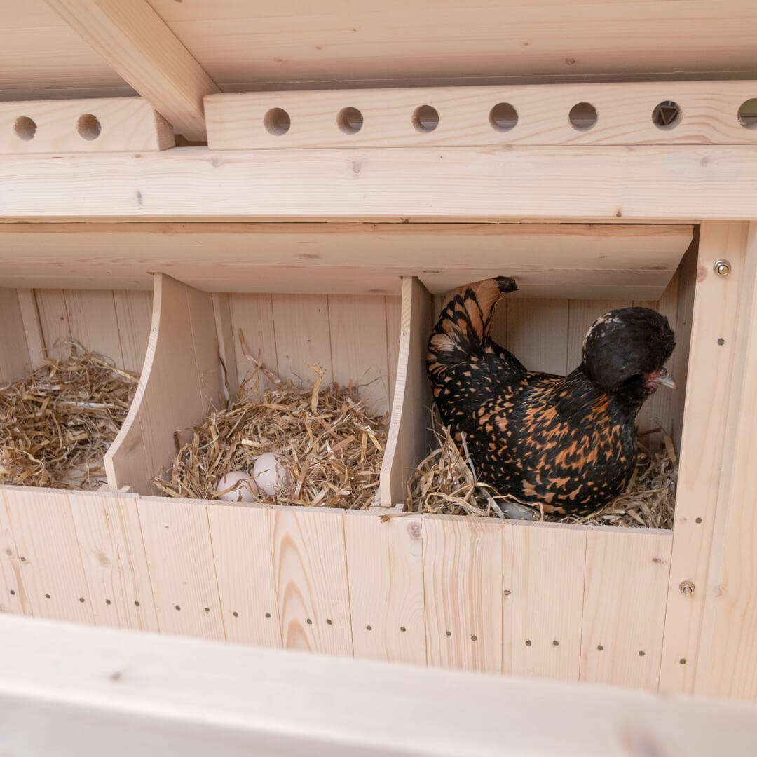 Thanks to the private nest boxes on the side of the chicken coop, three hens can nest at the same time.
