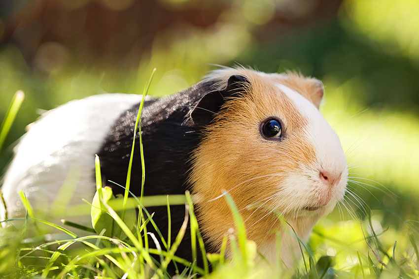 Red black and white guinea pig on grass