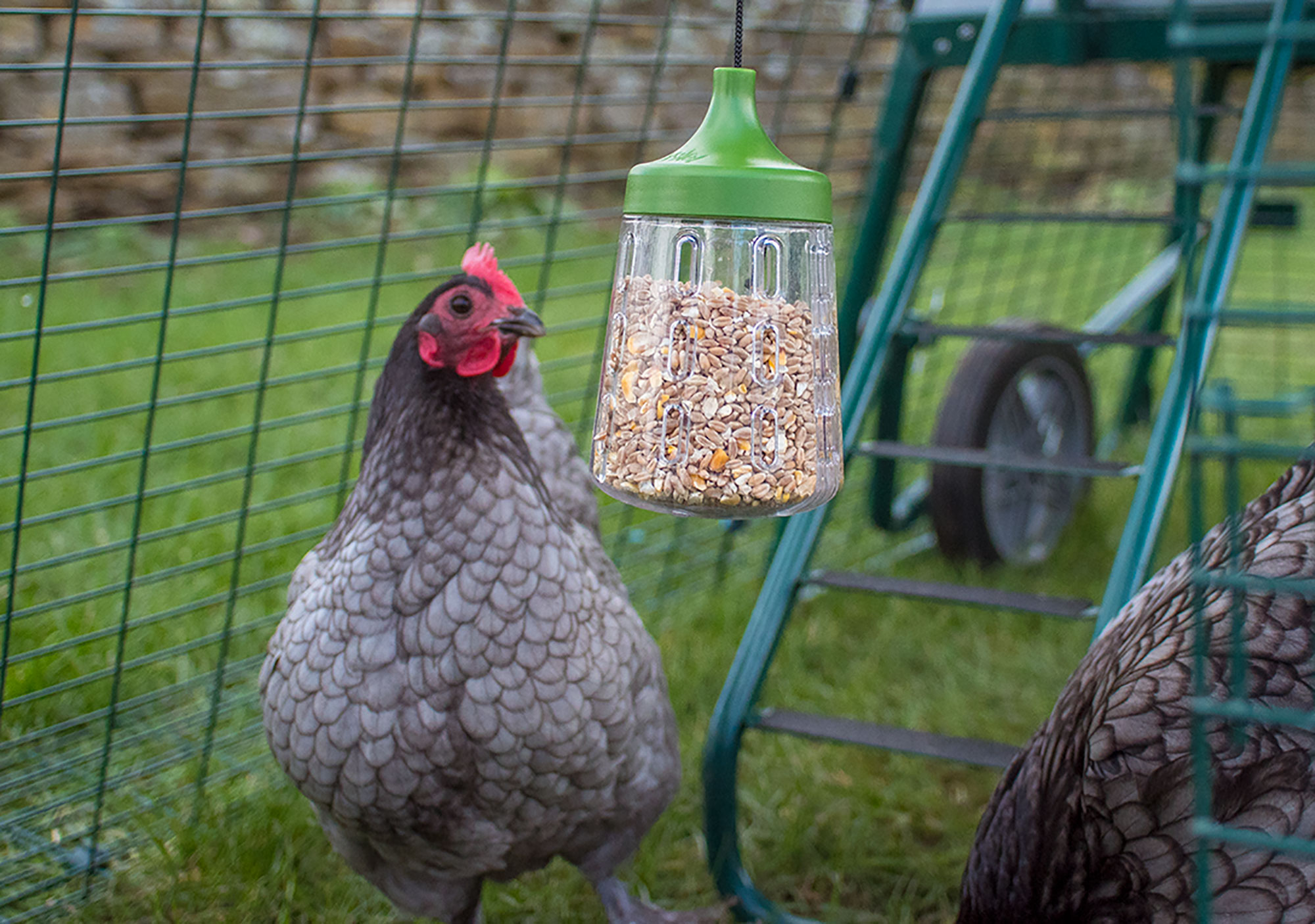 Chickens enjoy using their Rocky Peck Toy