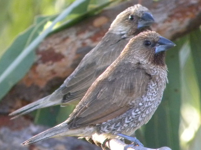 Scaly-breasted munia or spice finch
