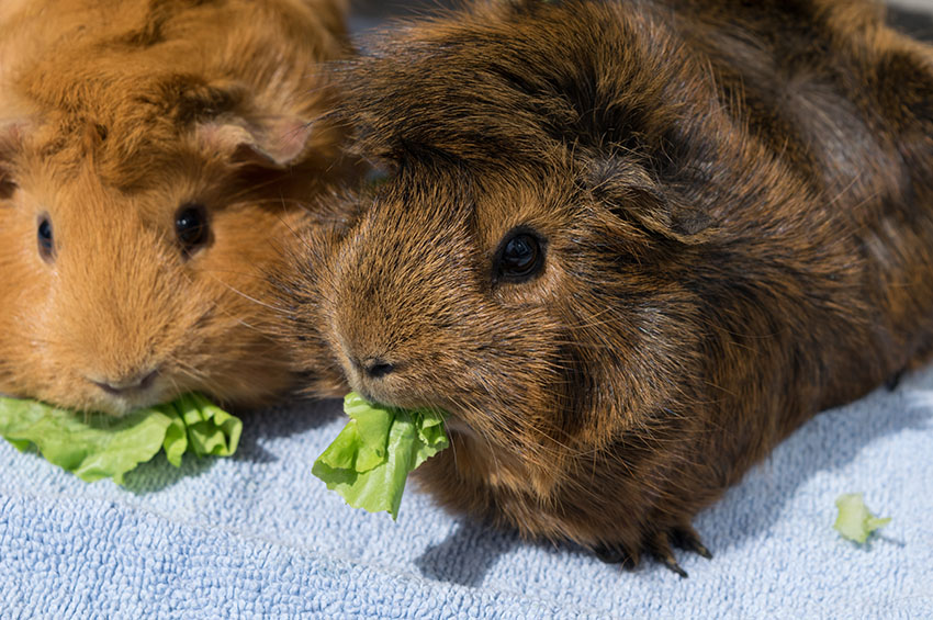 some contented guinea pigs