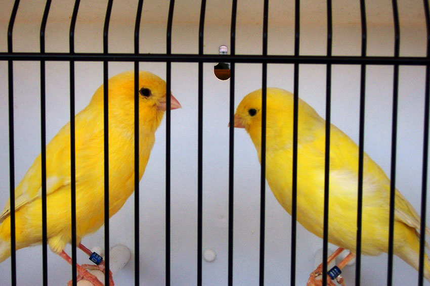 Yellow Canaries in showcage