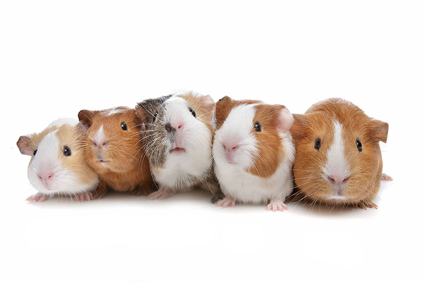 a group of guinea pigs