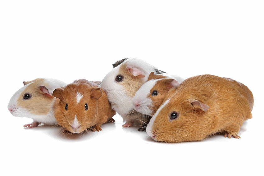 a group of healthy guinea pigs