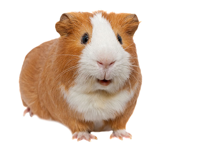 a guinea pig with short hair
