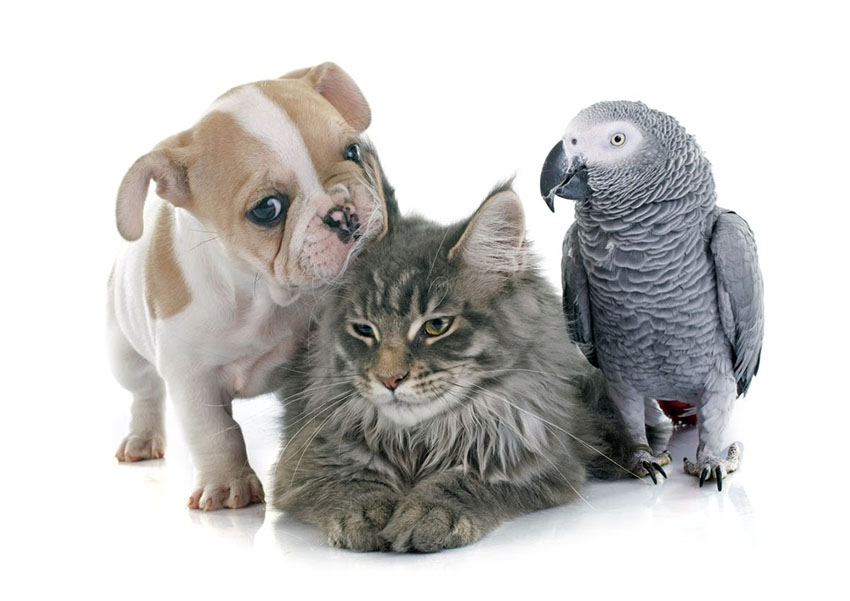 African Grey Parrot with cat and dog