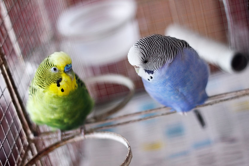 blue and green budgie pair in cage
