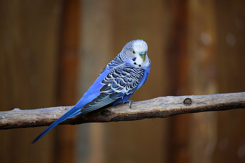 Blue budgie on a wooden perch