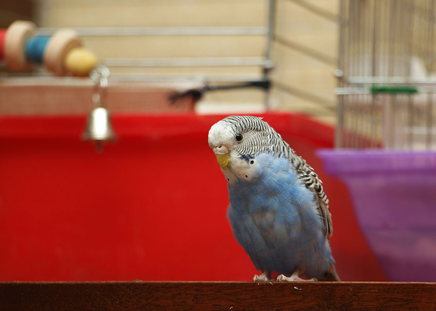 Blue budgie outside cage