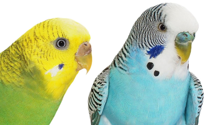 budgie_ceres