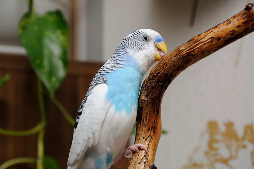 budgie chewing perch