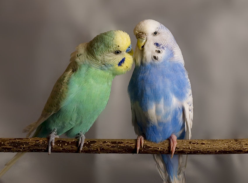 Budgie cock and hen