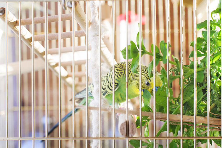 A budgie eating greens