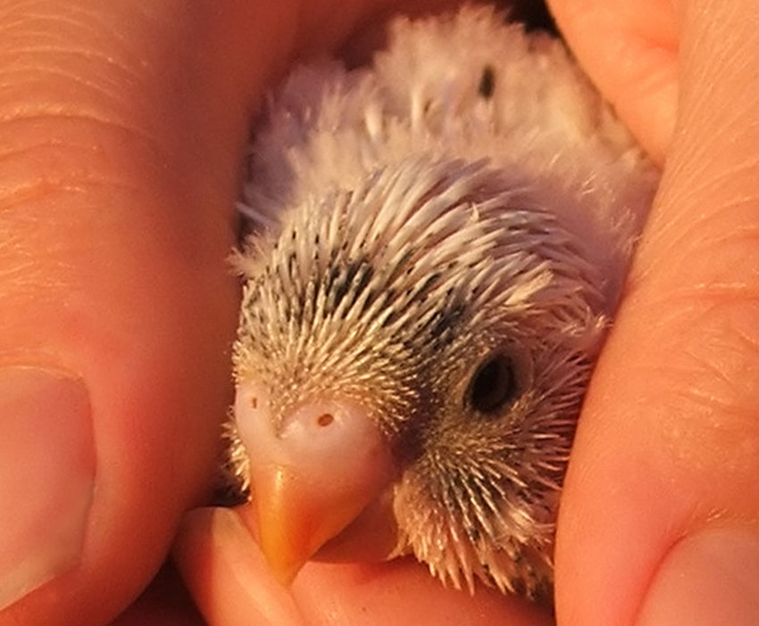 budgie fledgling cupped in hands
