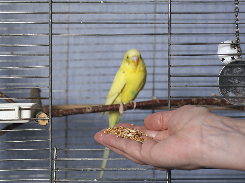 A budgie being hand-fed with grains