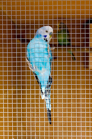 budgie on aviary wire