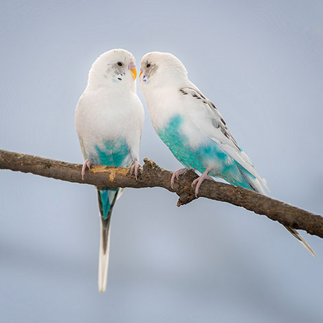 budgie pair on a branch