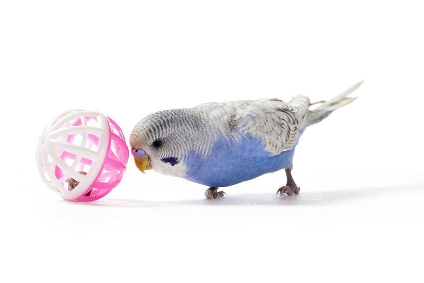 A budgie playing with a ball