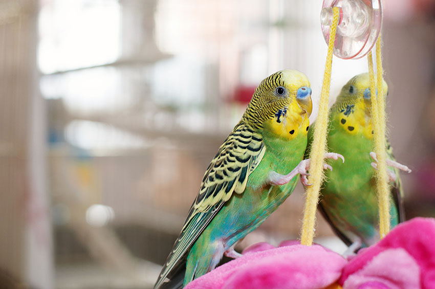 Budgie playing in a cage