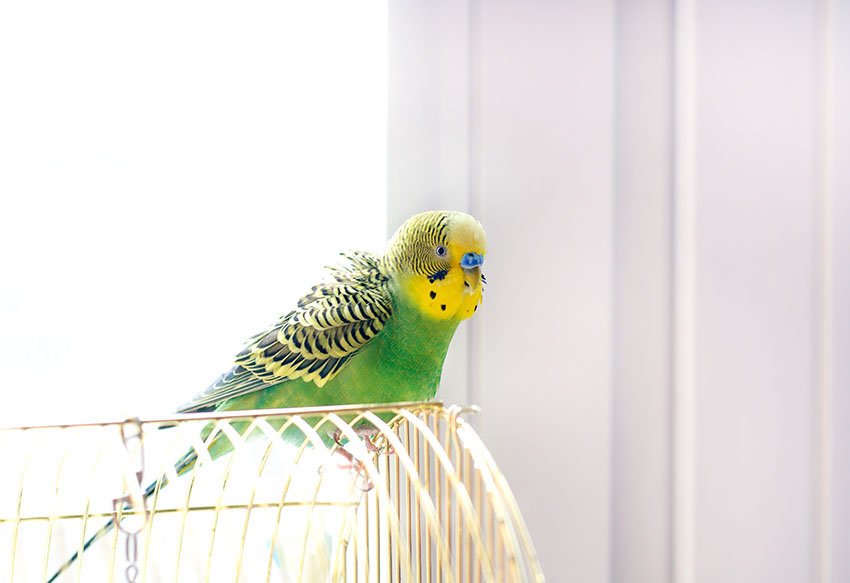 budgie singing on cage