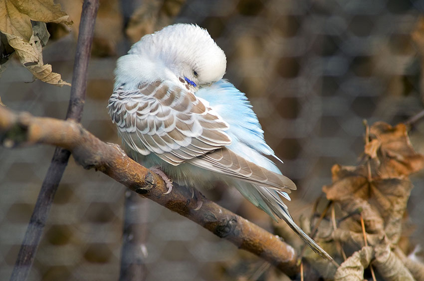 Brown budgie