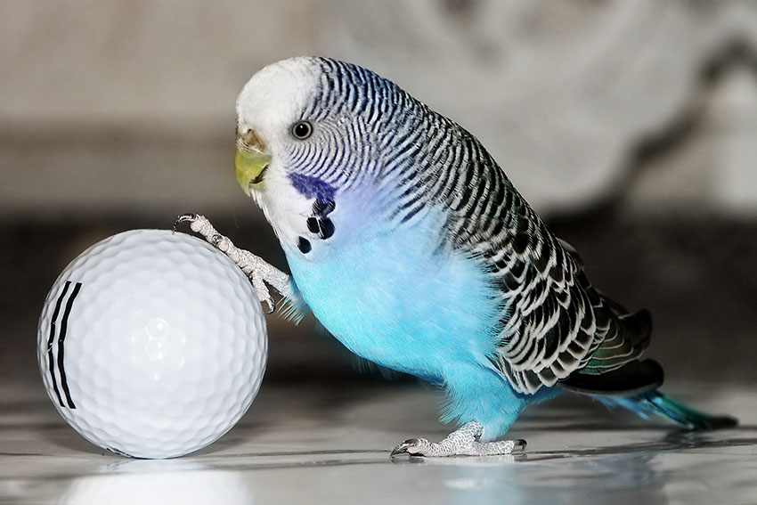 budgie with a golf ball