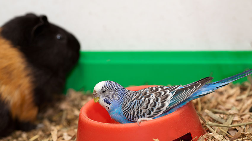 budgie with guinea pig