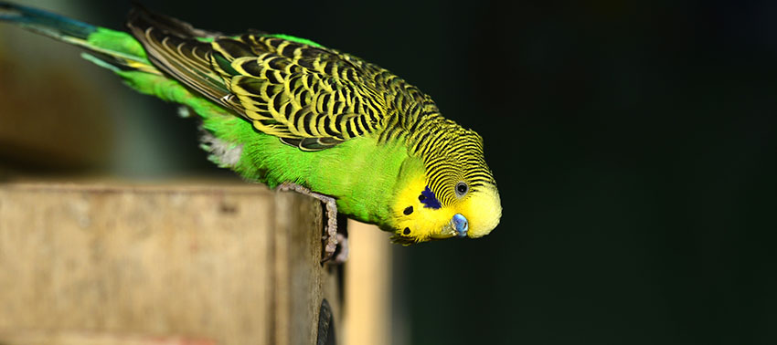 budgie with head down