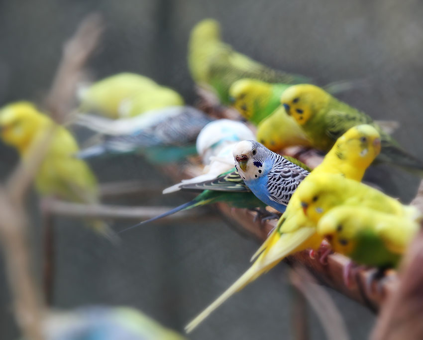 budgies crowding on a perch