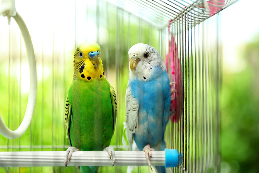 budgies of different colours