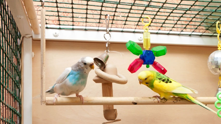 Budgies on a swing