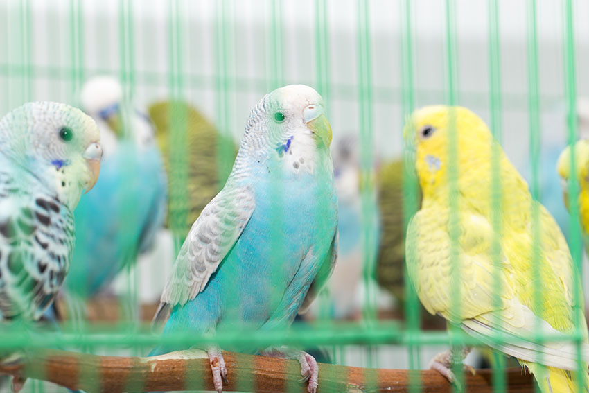 Budgies together in cages