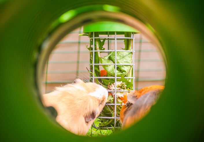 A guinea pig eating fresh food from the Caddi feeder