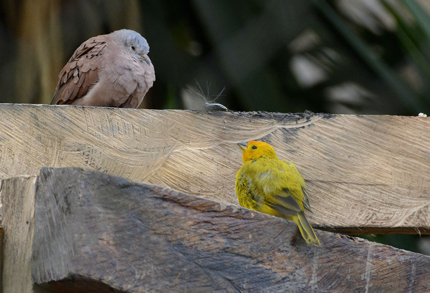 Canary and dove