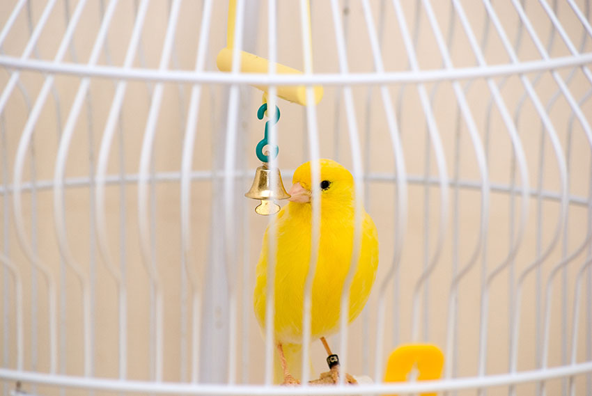 canary bell