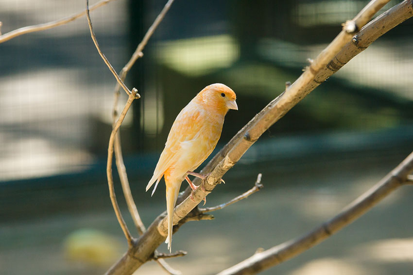 Canary in a tree