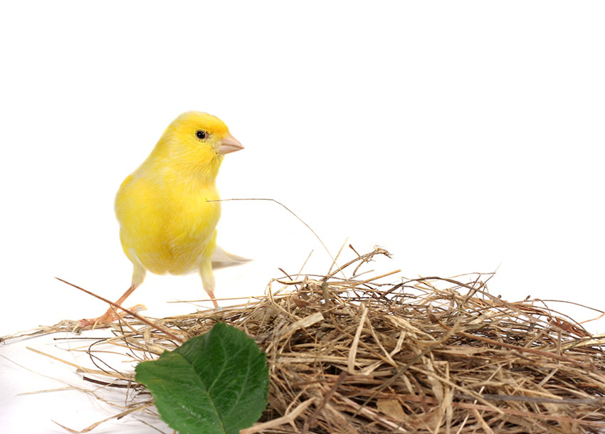 Canary nesting material
