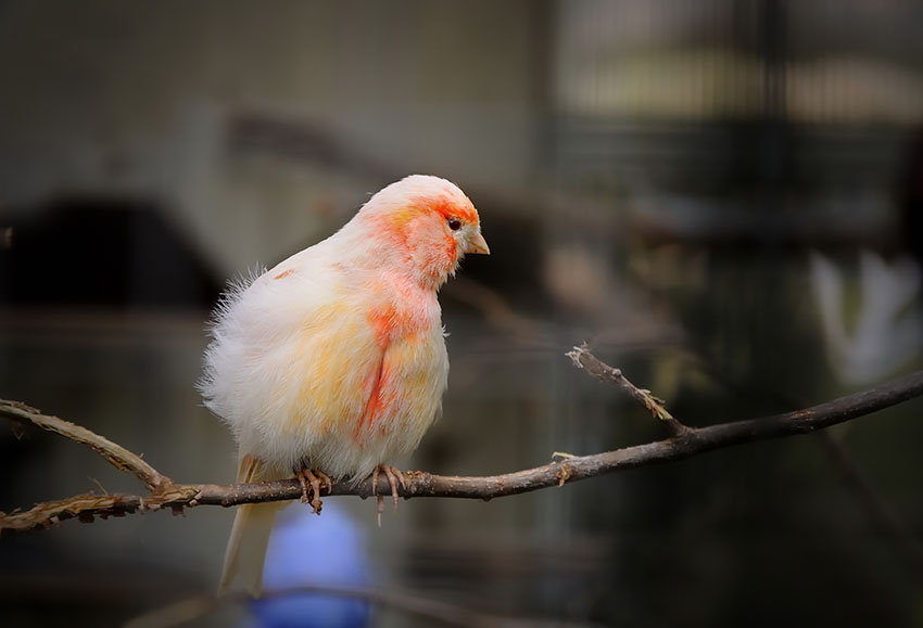 Canary with ruffled feathers indoors