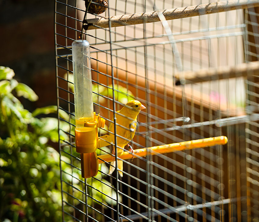 Canary drinking water