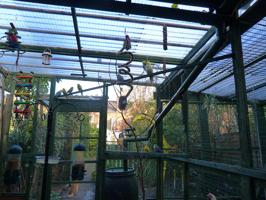 Cockatiels in mixed aviary