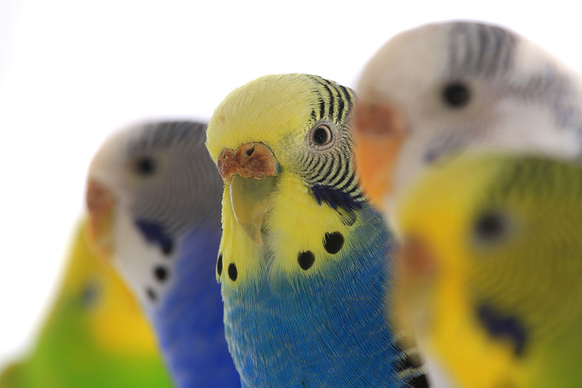 different_coloured_budgies
