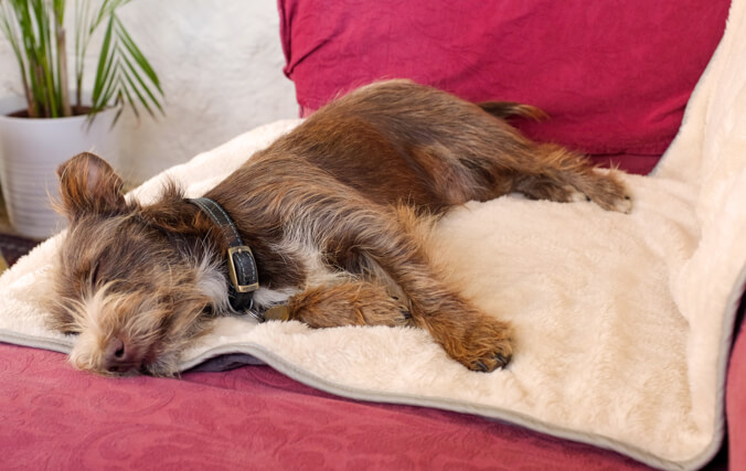 Small dog sleeping in a sofa using the luxury soft Omlet Blanket to protect the furniture.