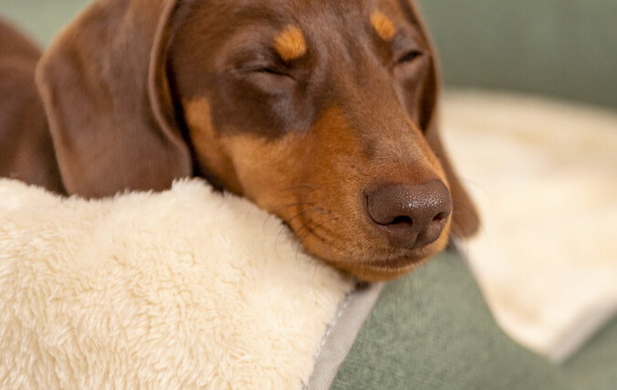 Dog sleeping on the bolster memory foam bed using the soft blanket