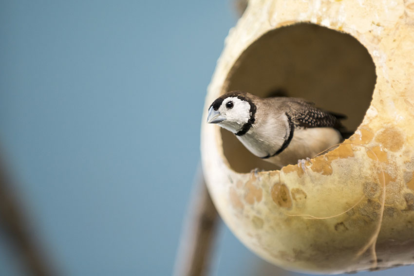 Double Barred Finch