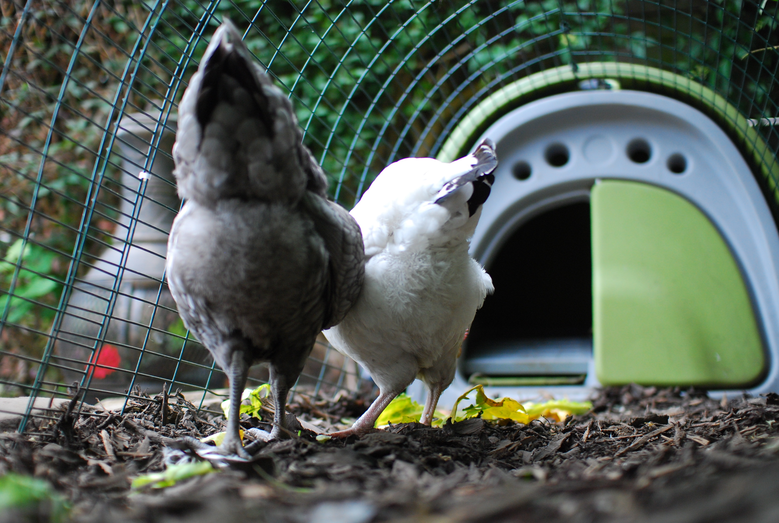 Chickens as pets
