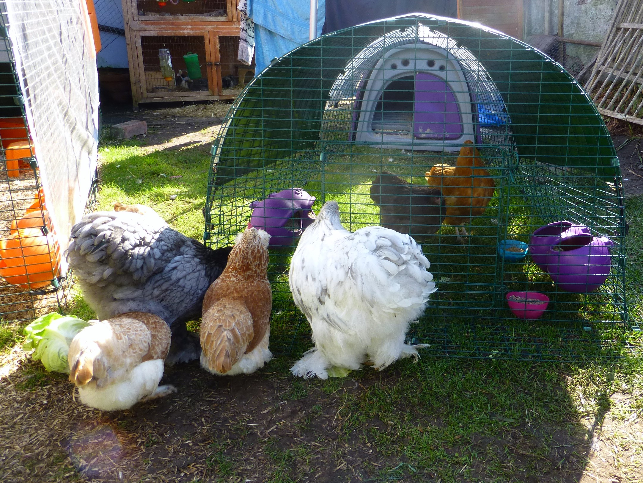Helen Goodson's hens being introduced to their new Orpington hen friends