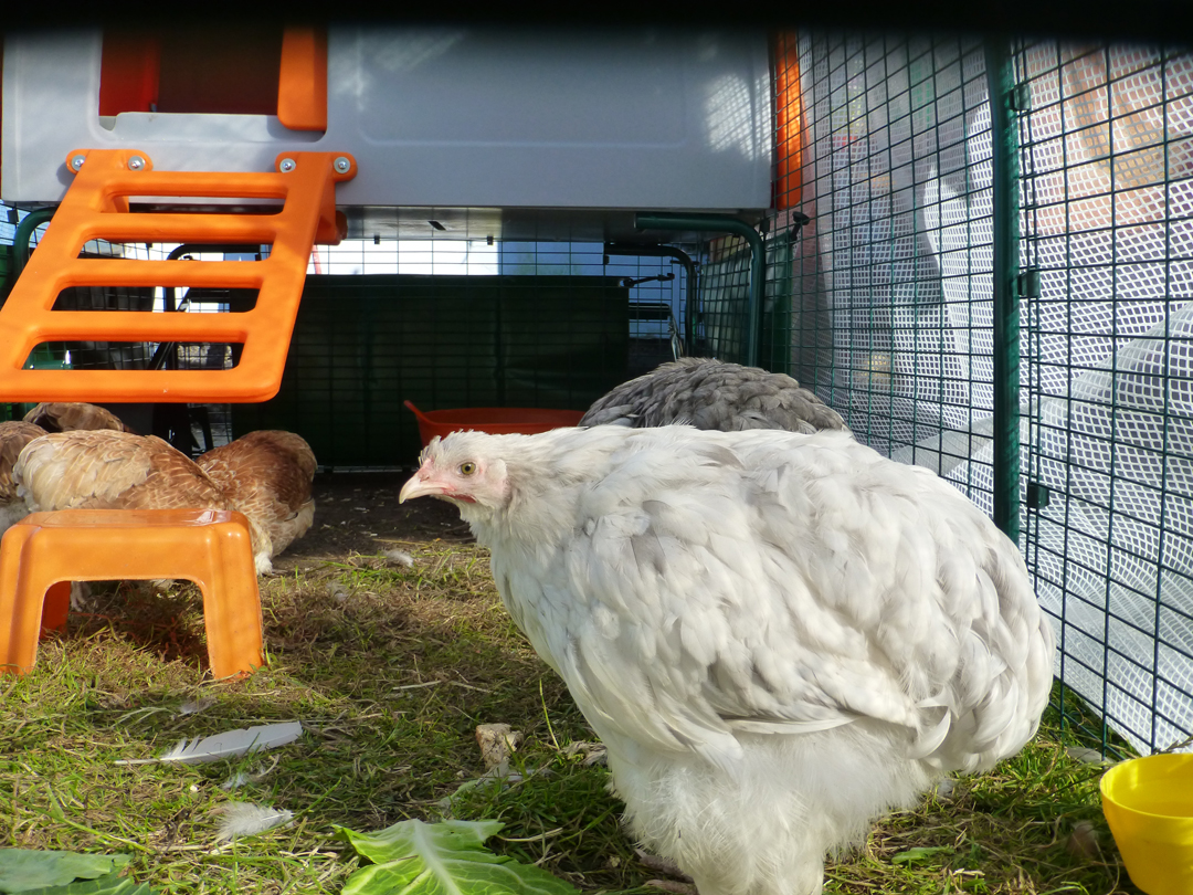 Helen Goodson's four Bantams and two Cochins absolutely love their Elgu Cube